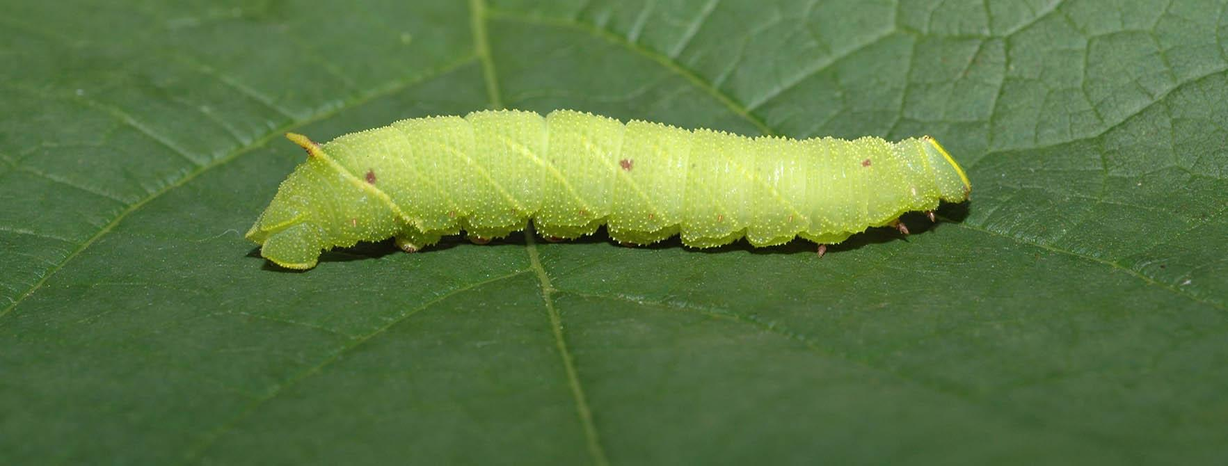 Cabbageworm