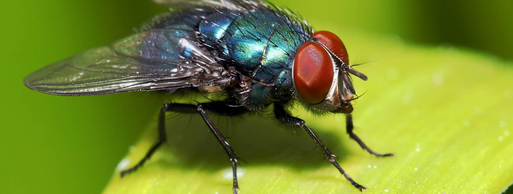 All About Flies Natural Fly Control