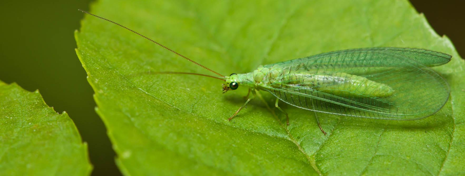 Small Green Flying Bugs Lacewing Fly Facts Clear Wings