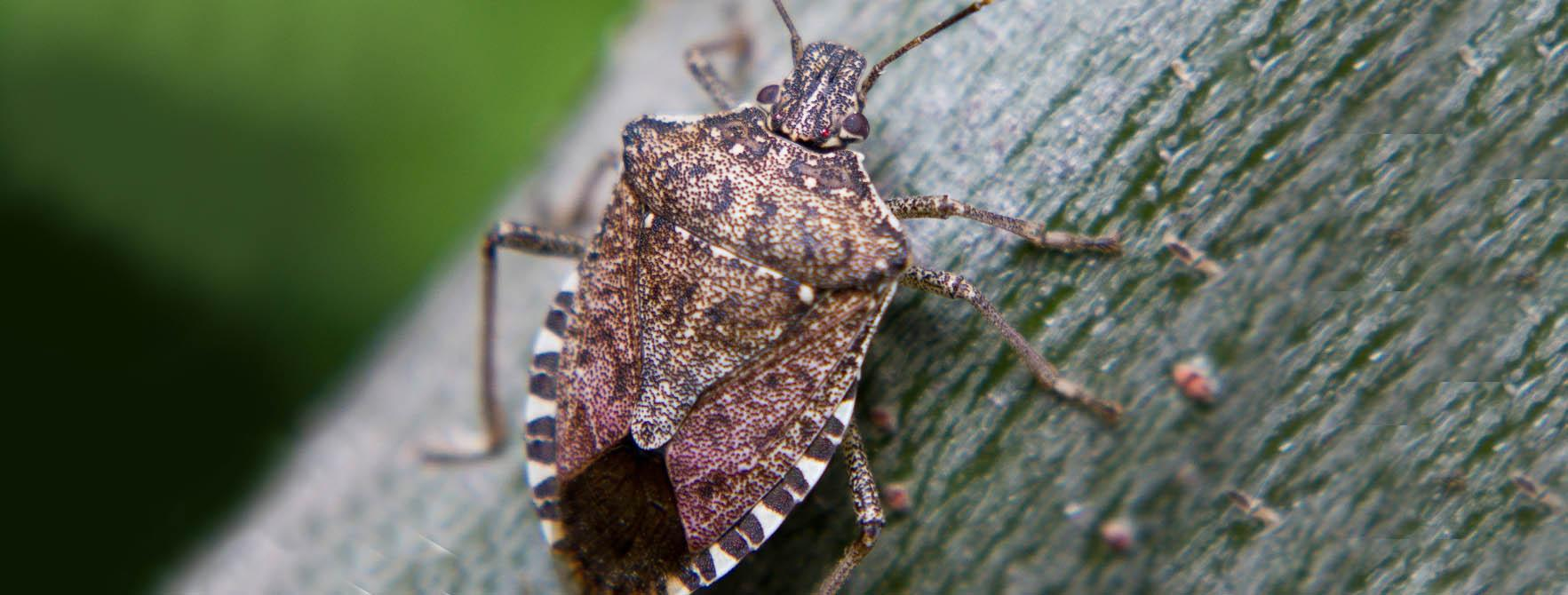 How To Get Rid Of Stink Bigs Organic Natural Bug Control