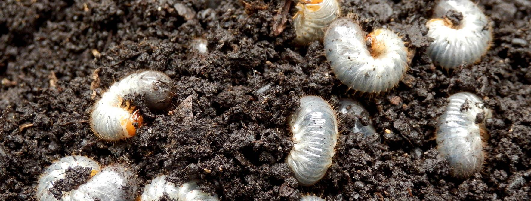 White Grubs In Garden Facts Diet Habitat Life Cycle