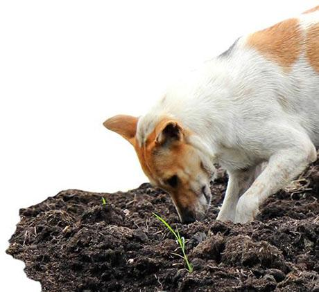 A dog digging in a garden