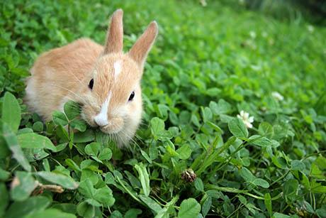 A rabbit eating clover