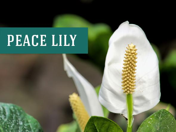 The Peace Lily is a great indoor plant that grows in water