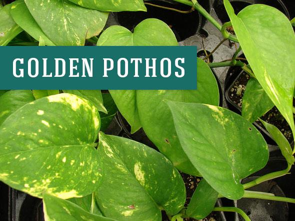 Golden Pothos are Great Office Plants