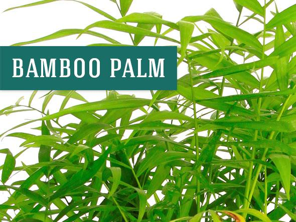 The Bamboo Palm makes a Great Office Plants