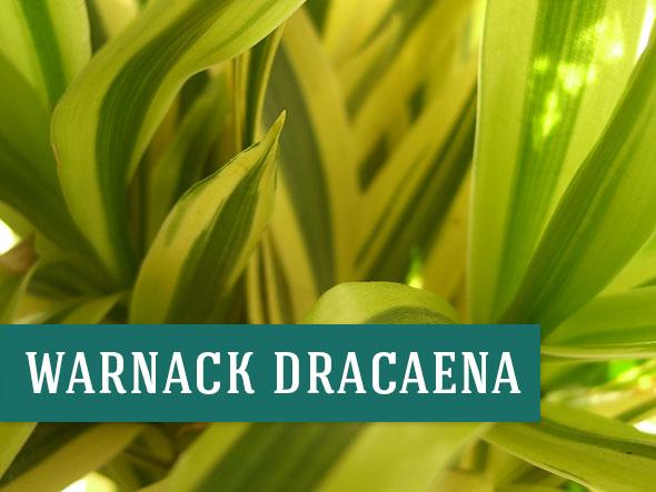 One of the Best Air Purifying Plant is Warnack Dracaena