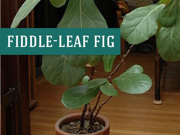 Fiddle Leaf Fig Indoor Trees are a popular choice for both style and the trees ability to clean indoor air. Photo source: Wikimedia Commons Morrisjm