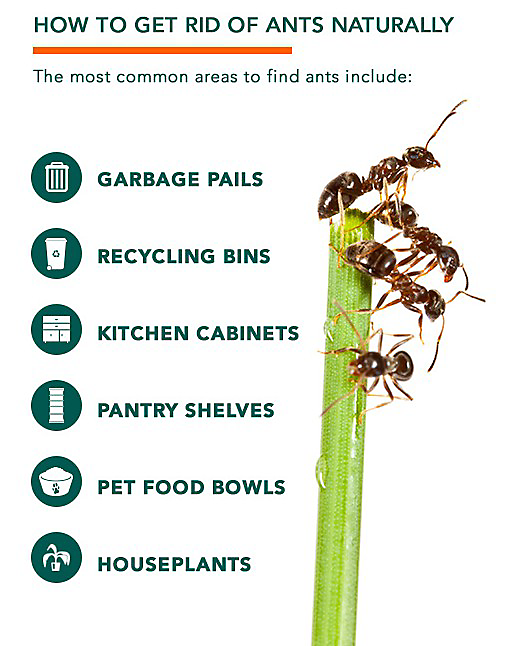 How To Get Rid Of Ants In The Kitchen Cabinets How To