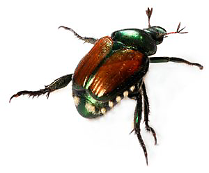 The Story Of Japanese Beetles And How To Fight Them