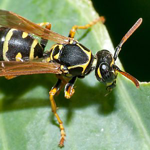 bee wasp hornet a guide to stinging insects