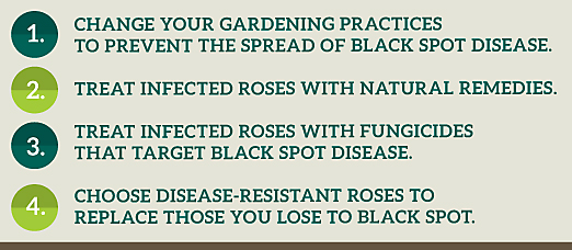 how to get rid of black spot on roses