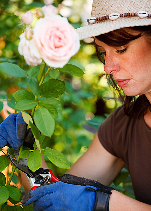 Rose pruning tips rose tips