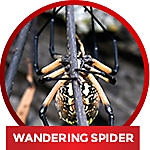 common household spider the wandering spider