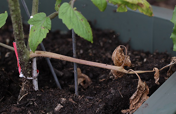 wilted tomato plant fungus