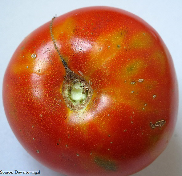 What wrong with my tomatoes - spotted wilt virus