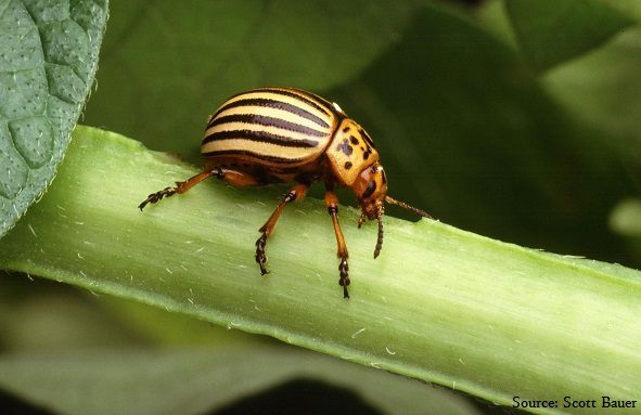 Colorado potato beetle damaging tomato plants