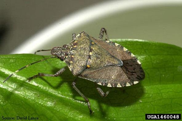 how to get rid of stink bugs on tomato plants