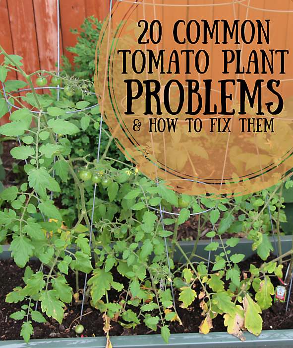 tomato plant problems and how to fix them