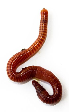 Composting Helpers: Facts About Red Worms